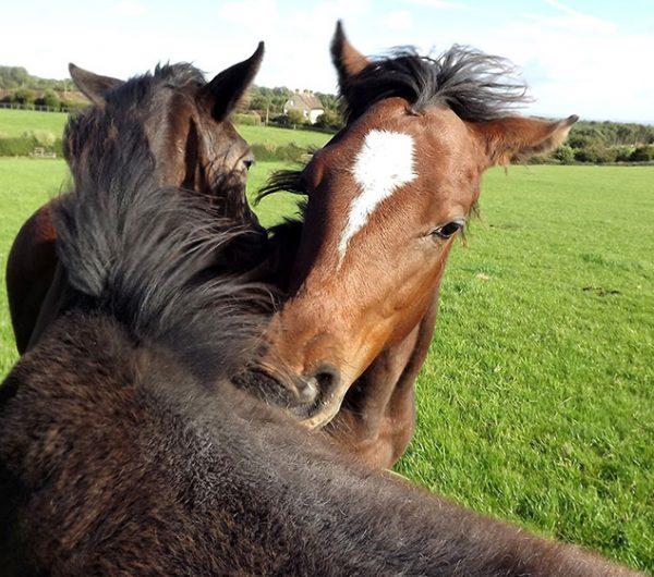 Cliff Stud Horses Helmsley